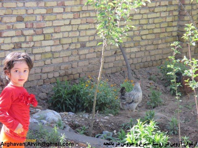 عکس ارغوان در کنار مرغ و خروس - باغچه حیاط 94